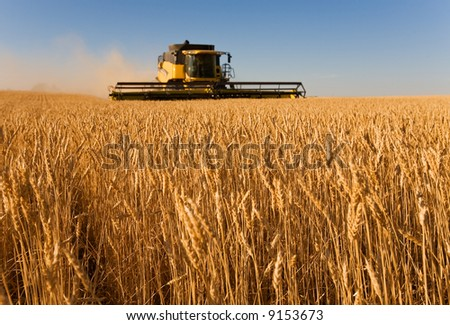 Combine harvester working in a wheat field,(focus on front row of wheat) - stock photo