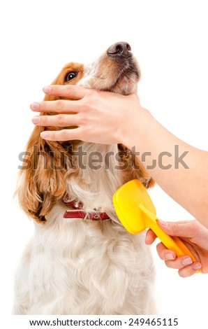 Combing dog breed Russian Spaniel isolated on white background - stock photo