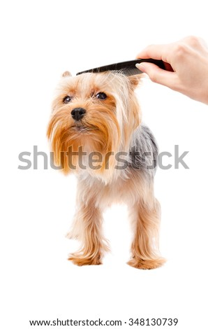 Combing dog breed Yorkshire terrier isolated on white background - stock photo