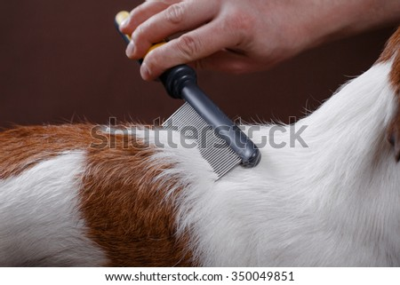 combing her dog Jack Russell Terrier, care for dog hair - stock photo