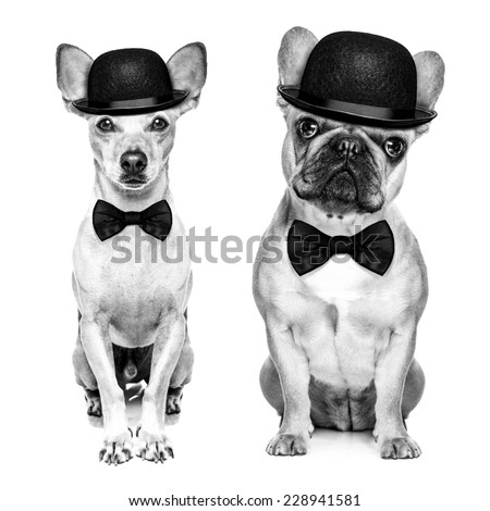 comedian classic couple of dogs wearing a bowler hat and black tie  isolated on white background.In black and white retro look - stock photo