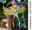 Comet moth (Argema mittrei) or Madagascan moon moth, an African moth, native to the rain forests of Madagascar. - stock photo
