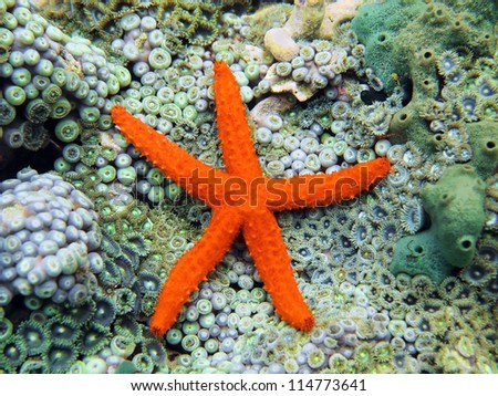 Comet sea star underwater on seabed covered by anemones - stock photo