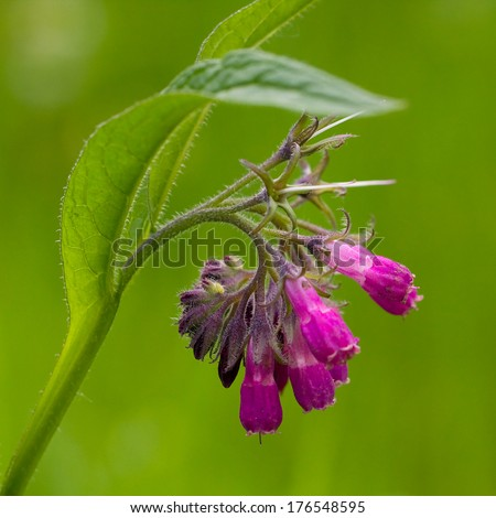 Comfrey (Symphytum officinale), flowers of a plant used in organic medicine  - stock photo
