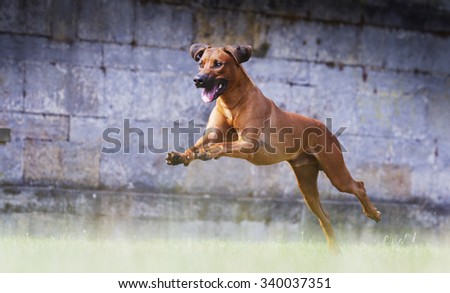 comic and crazy young rhodesian ridgeback dog or puppy flying jump and running hunting in castle park
