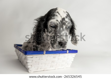 Comic portrait of puppy setter in a wood basket, white background - stock photo