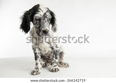 Comic portrait of puppy spotted english setter. White background - stock photo