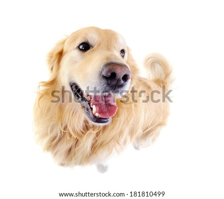 comic view of golden  retriever