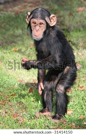 Comical baby Chimpanzee standing on it's hind legs - stock photo
