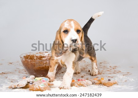 Comical funny image of Beagle puppy full of flour and cake dough - stock photo