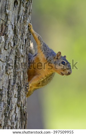 Comical Squirrel Hanging on side of tree -- soft Green Background Portrait