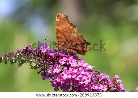 Comma Butterfly - stock photo