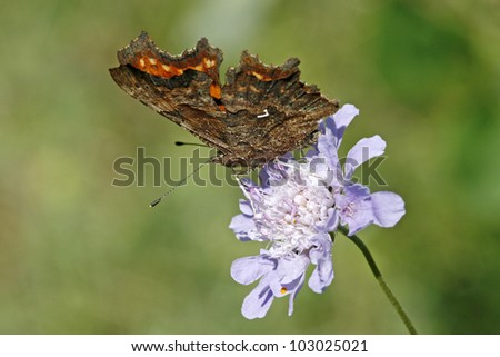 Comma Butterfly (Nymphalis c-album, Polygonia c-album) on scabious flower in Germany - stock photo