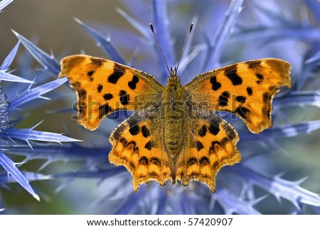 Comma Butterfly on Eryngium - stock photo