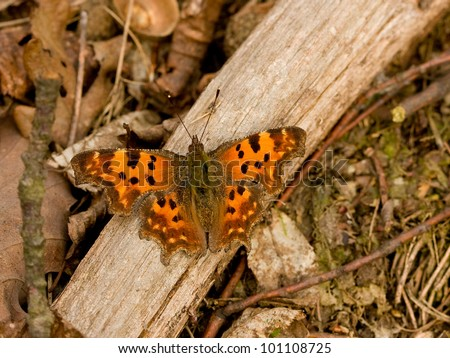 Comma butterfly - Polygonia c-album - stock photo