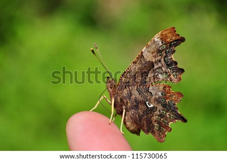 Comma butterfly, Polygonia c-album - stock photo