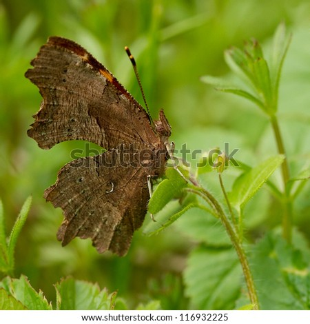 Comma butterfly (Polygonia c-album) - stock photo