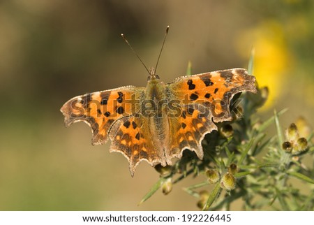 Comma butterfly, Polygonia c-album - stock photo