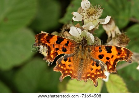 Comma Butterfly (Polygonia c-album) sitting on a bramble blossom. - stock photo