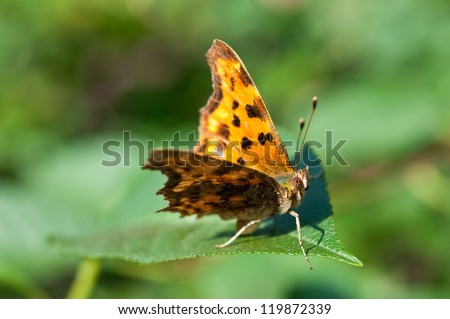 comma butterfly posing on the leaf - stock photo