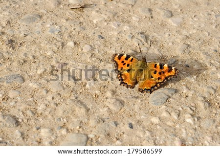 comma butterfly resting on the sun  - stock photo