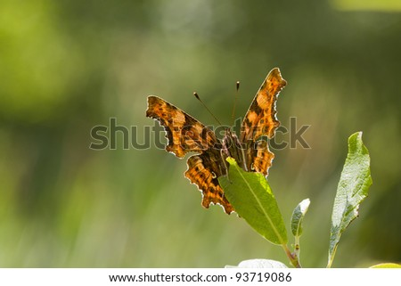 Comma (Polygonia c-album) Butterfly Backlit on a leaf - stock photo