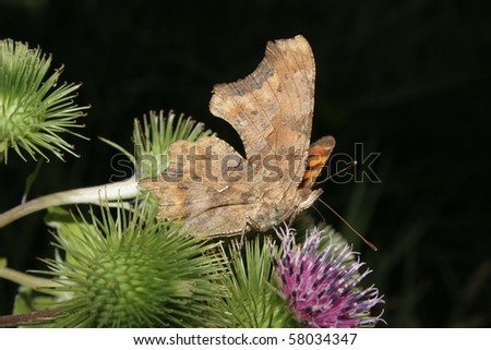 Comma (Polygonia c-album) on a flower - stock photo