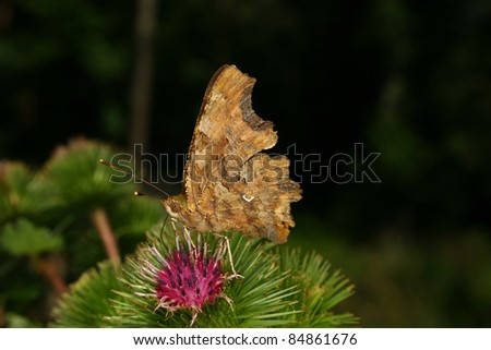 Comma (Polygonia c-album) on a Thistle - stock photo