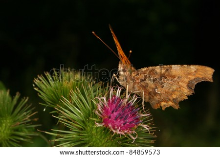 Comma (Polygonia c-album) on a Thistle - Portrait - stock photo