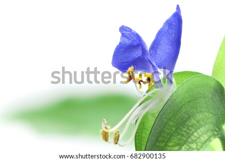 Commelina communis, white background