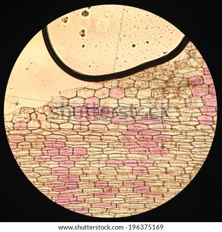 Commelinaceae cell  Microscopic Photos - stock photo