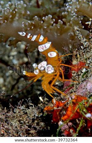 commensal anemone shrimp - stock photo