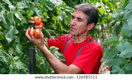 Commercial Production of Fresh Market Tomatoes. Portrait of a farmer with ripe, red tomatoes in his hand. Tomato growing in greenhouse. - stock photo