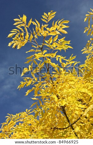 Common Ash (Fraxinus excelsior) in fall foliage - stock photo