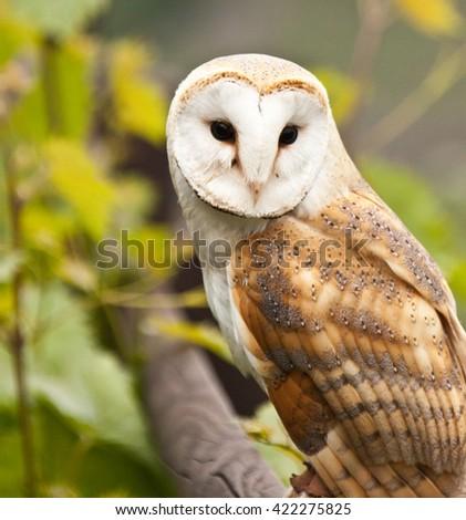 Common Barn Owl (Tyto alba alba) - stock photo