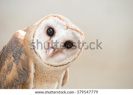 common barn owl ( Tyto albahead ) head close up - stock photo