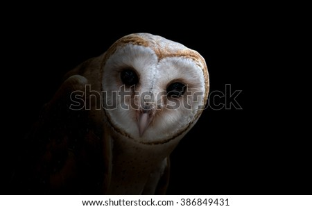 common barn owl ( Tyto albahead ) in dark background