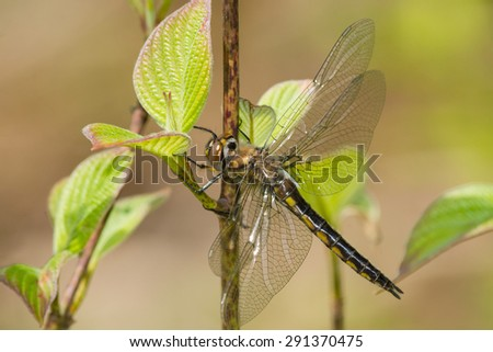 Common Baskettail Dragonfly perched on a branch. - stock photo