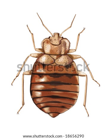 Common Bedbug (Cimex lectularius). High resolution bitmap image generated from a detailed vector artwork. - stock photo