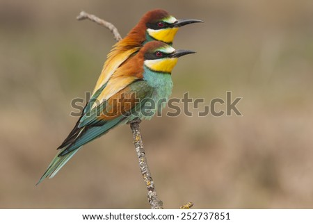 Common bee-eater ( Merops Apiaster ) perched on a branch - stock photo