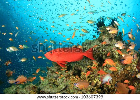 Common Bigeye and other tropical fish on coral reef in the Red Sea - stock photo