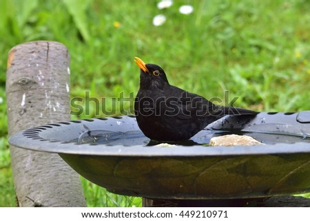 Common Blackbird in a bird bath - stock photo