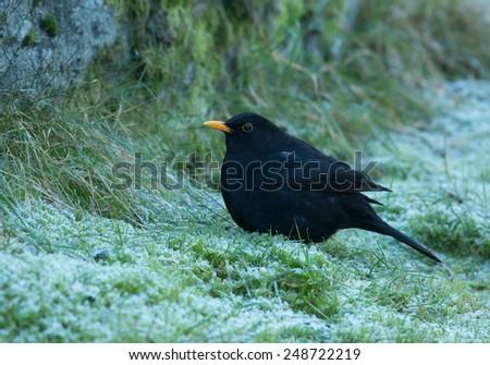 Common blackbird, male, black with yellow beak. - stock photo