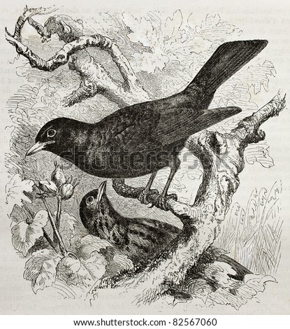 Common Blackbird old illustration (Turdus merula). Created by Kretschmer and Illner, published on Merveilles de la Nature, Bailliere et fils, Paris, 1878 - stock photo