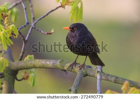 common blackbird on the tree - stock photo