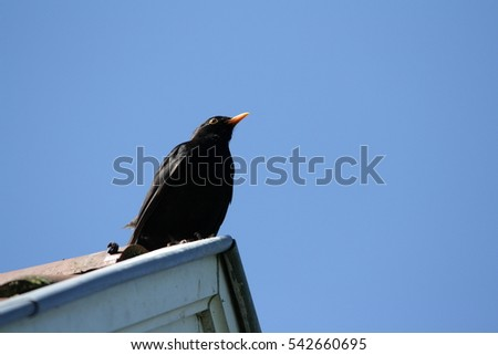 common blackbird (Turdus merula) perched on a roof