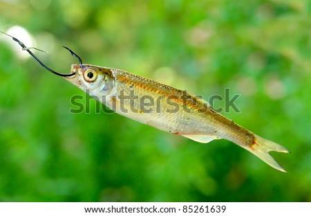 Common Bleak (Alburnus alburnus) great fish-bait for all carnivorous fish. Close up with shallow DOF. - stock photo