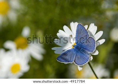 Common blue butterfly male - stock photo