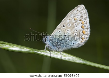 Common Blue Butterfly on Long Grass at Night - stock photo