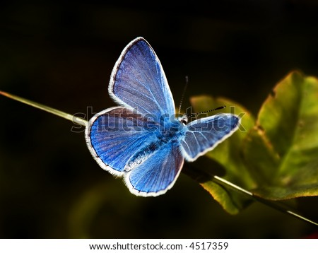 common blue butterfly (Polyommatus icarus) on black - stock photo